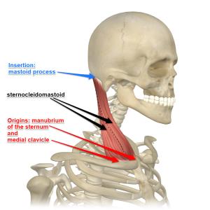 sternocleidomastoid-muscle